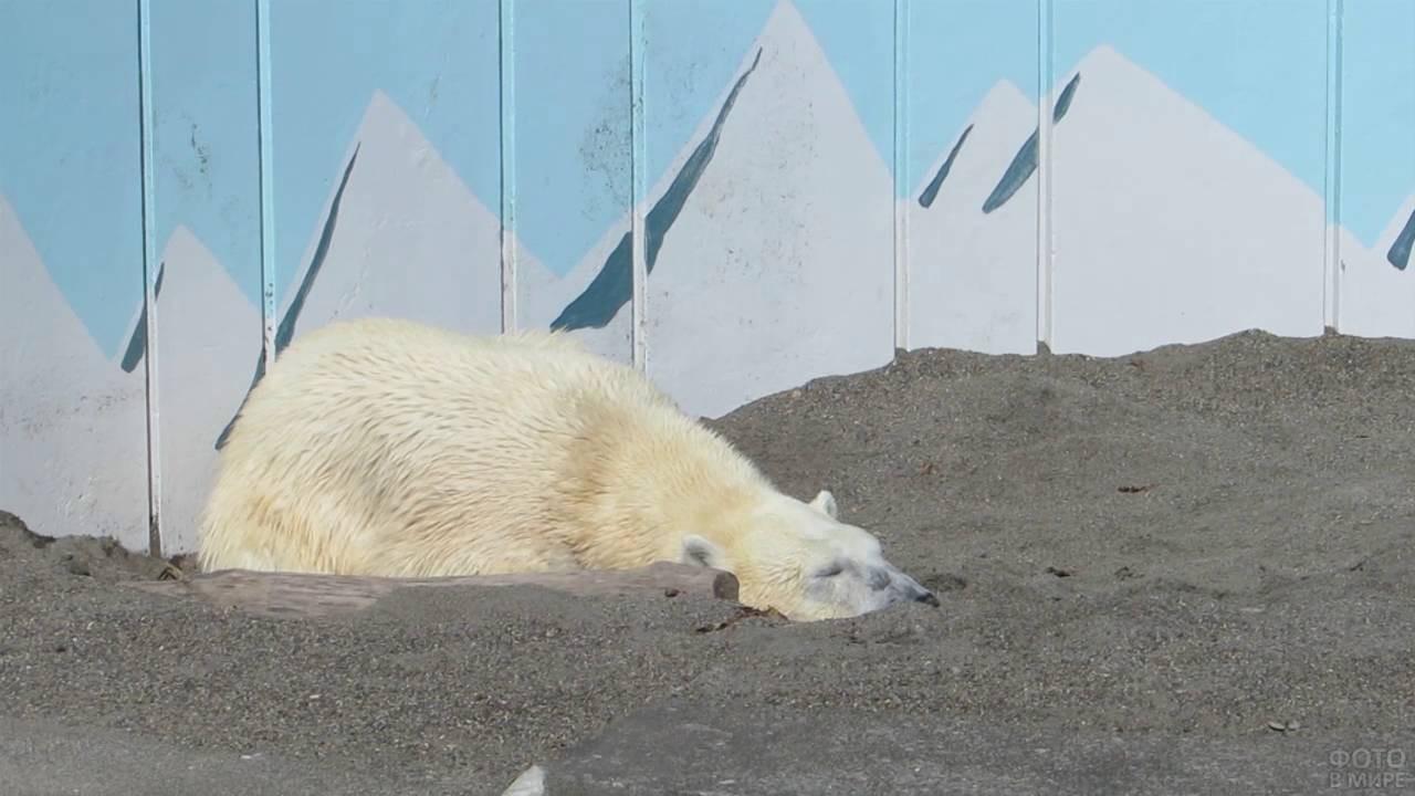 Белый медведь зарылся в песок