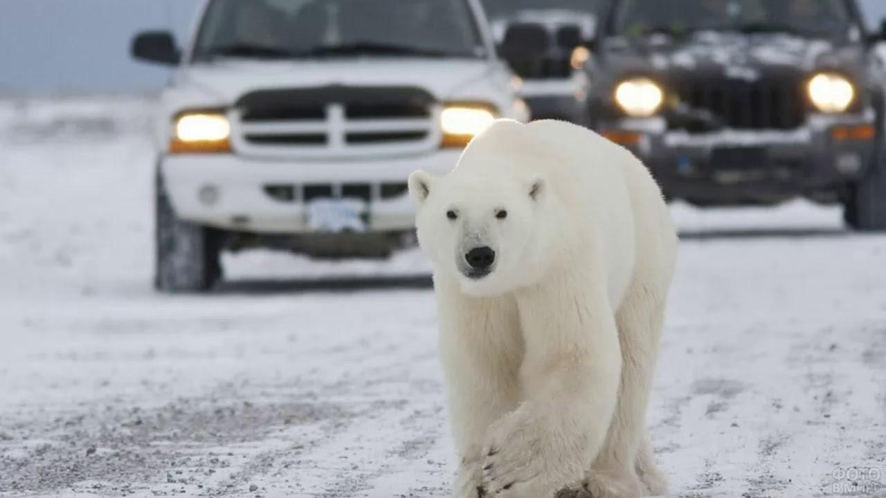 Белый мишка идёт впереди машин