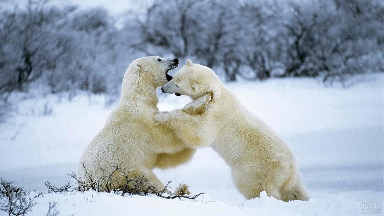 Два белых медвежонка играют друг с другом