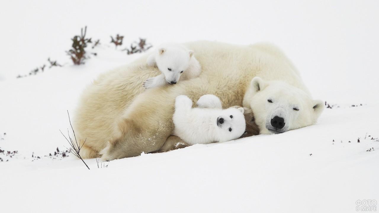 Два медвежонка рядом с мамой