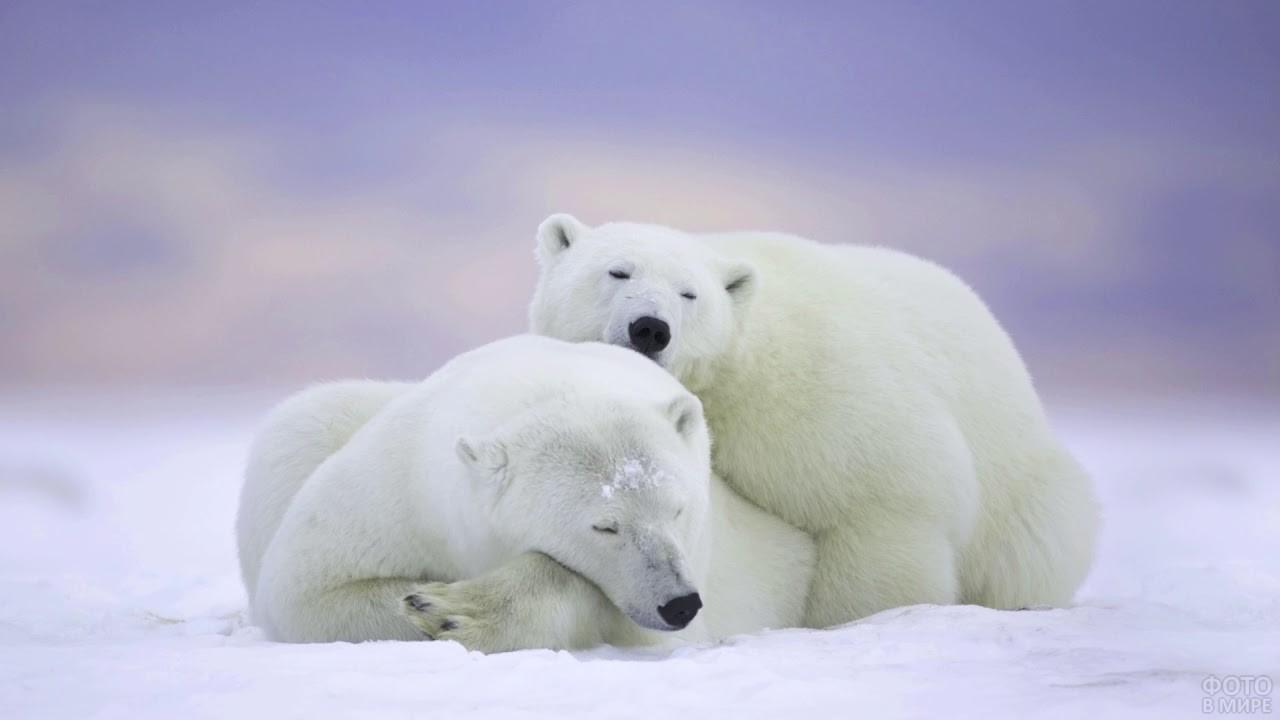 Два полярных медведя спят друг на друге