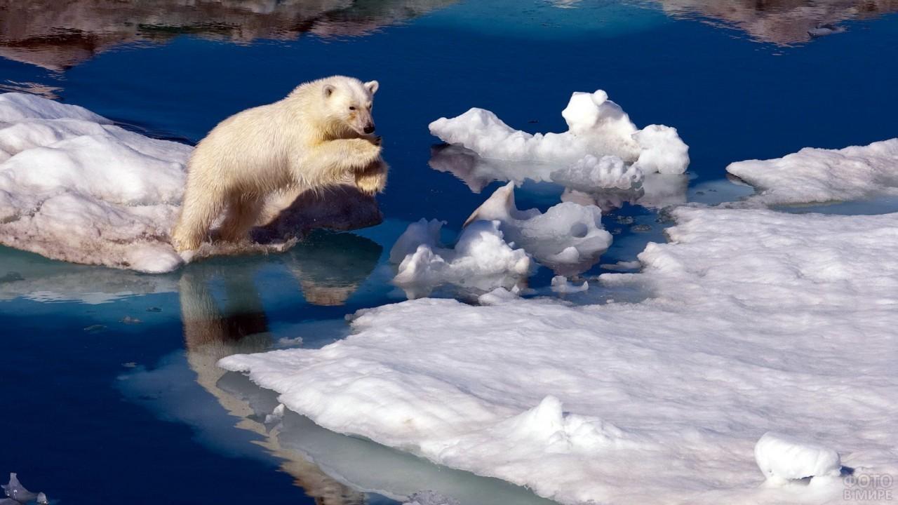 Медведь прыгает на льдину