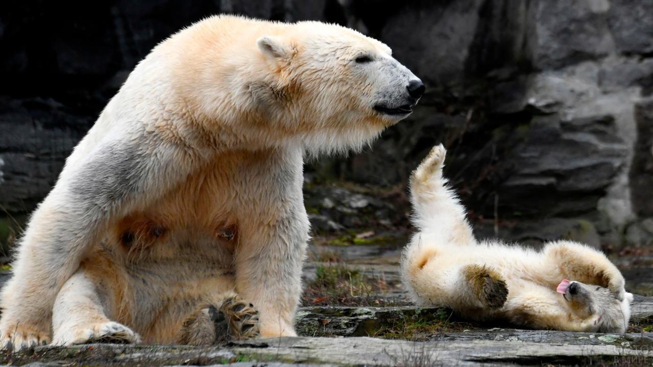 Медведица сидит возле лежащего медвежонка