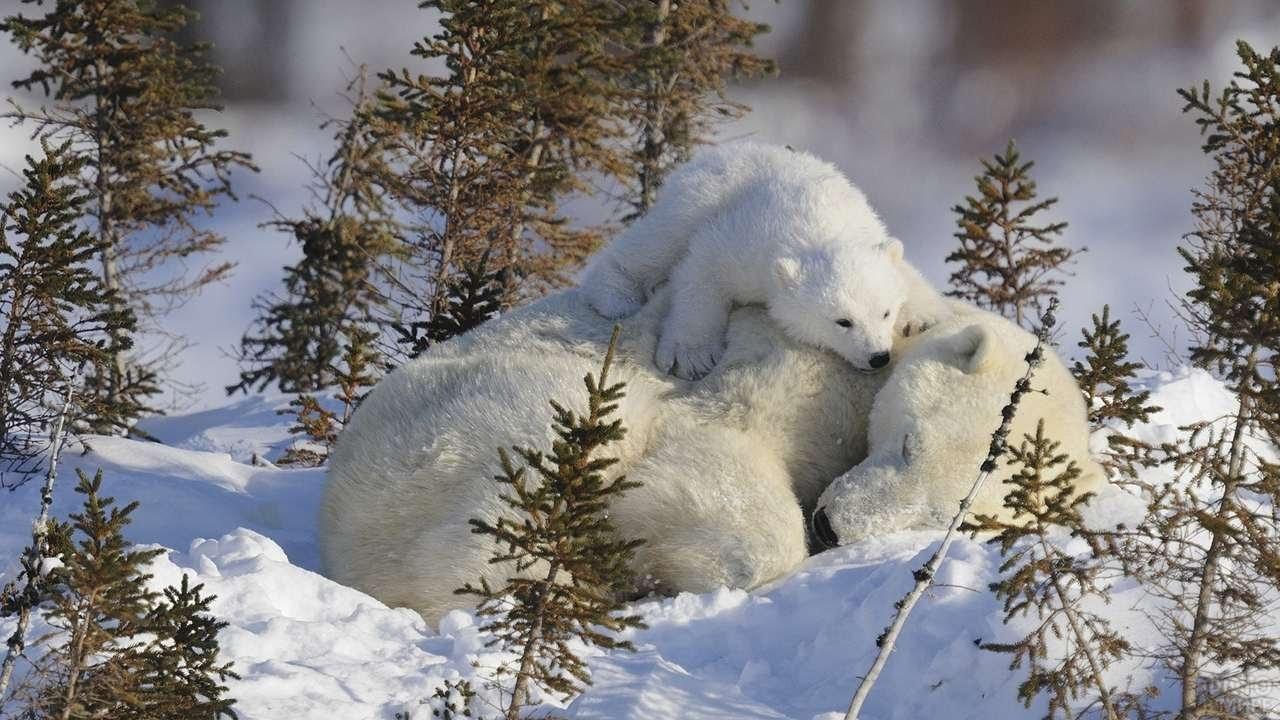 Медвежонок лежит на спящей маме