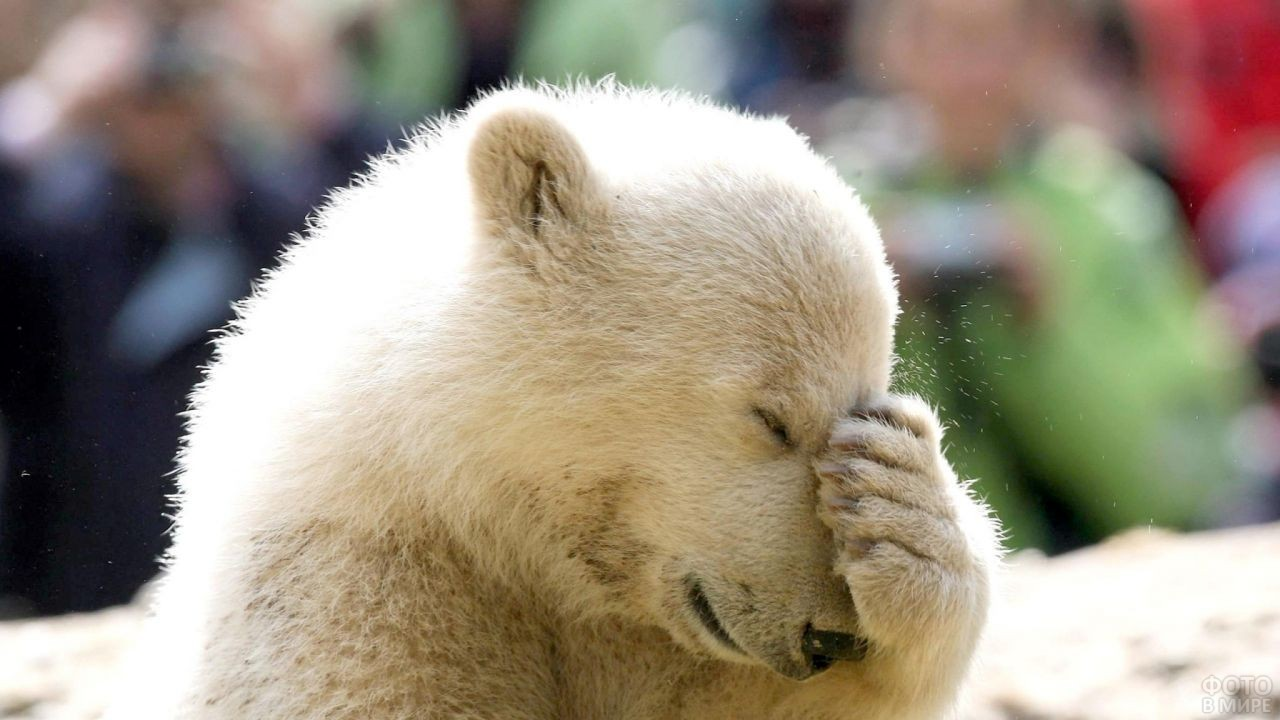 Медвежонок закрыл лапой нос