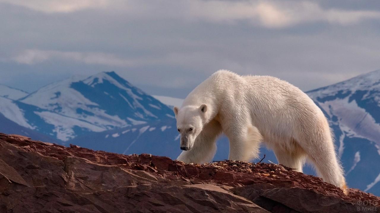 Полярный медведь идёт по горе