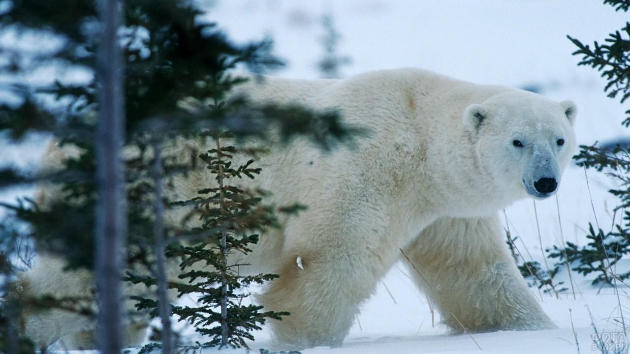Полярный медведь проходит мимо елей