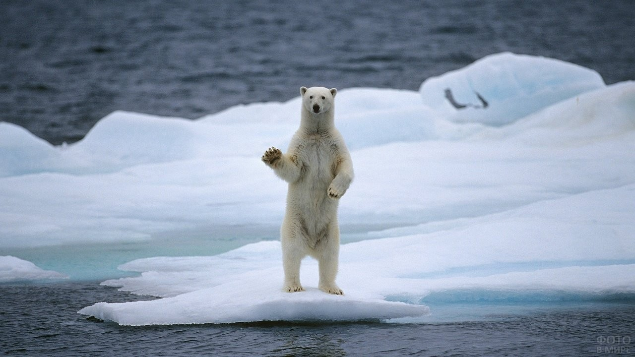Полярный медведь стоит на льдине, подняв лапу