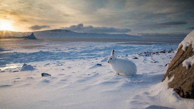 Арктический беляк на снегу