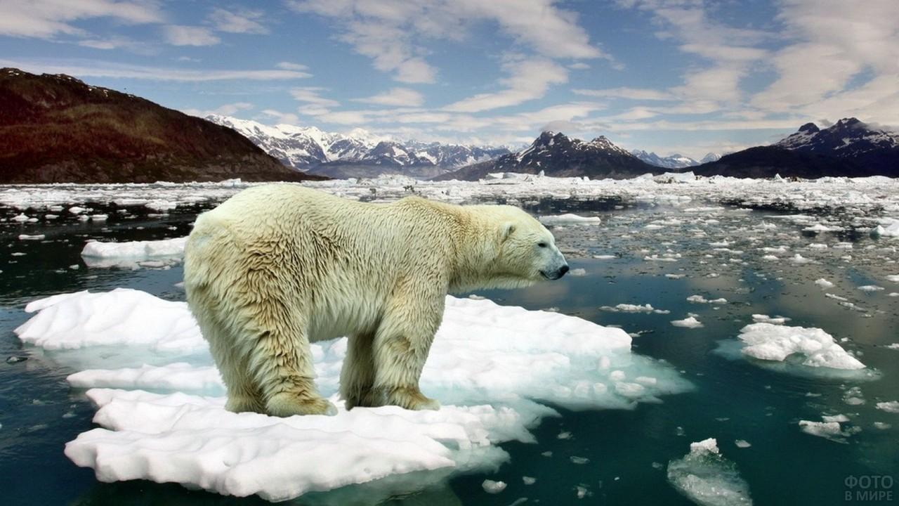 Белый медведь на льдине в океане