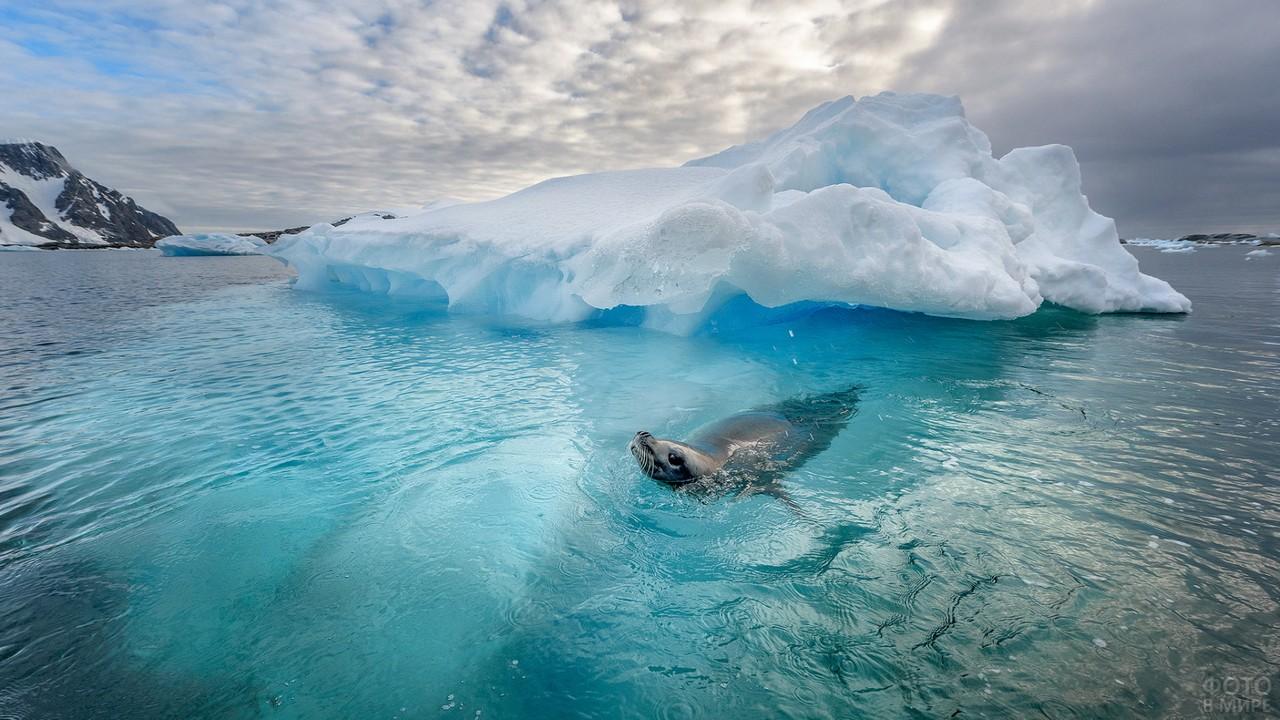 Тюлень плавает возле айсберга