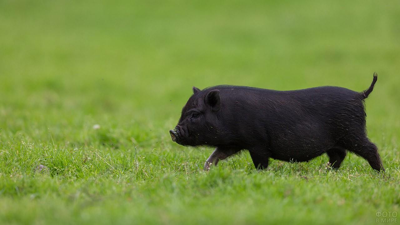 Чёрная свинка бежит по лужайке