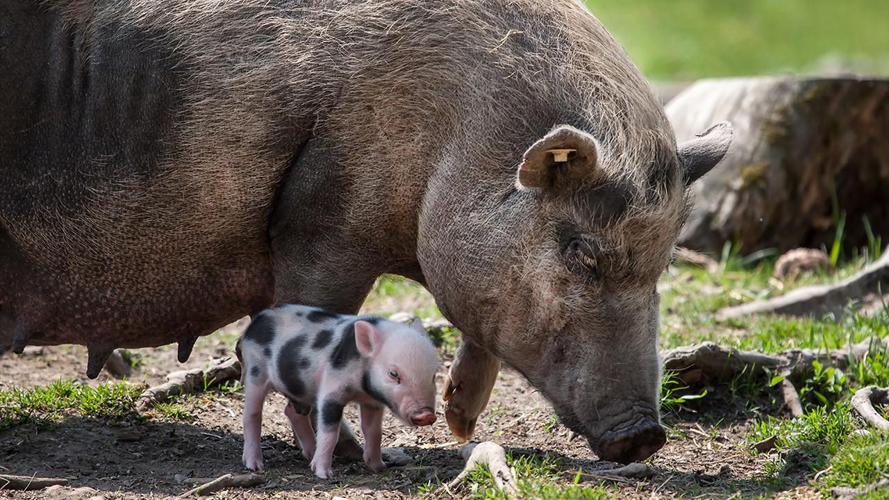 Огромная свинья с маленьким поросёнком