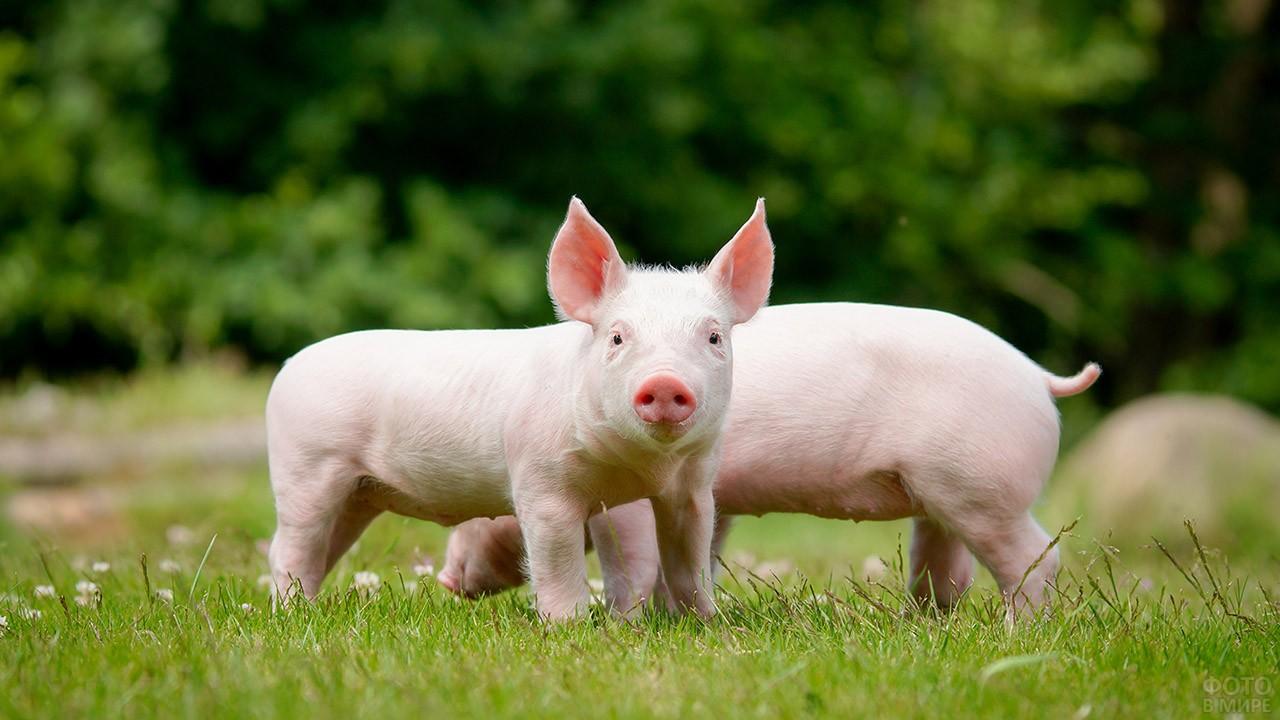 Розовые свинки на зелёной лужайке