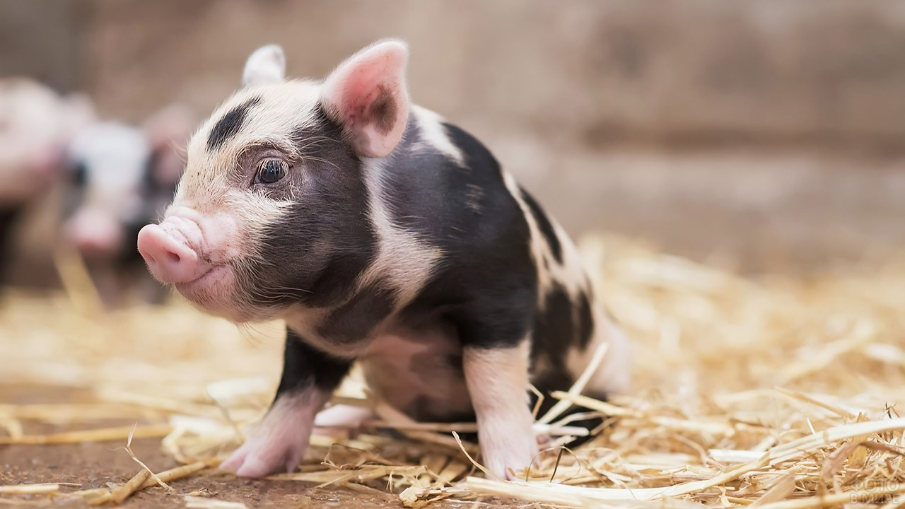 Свинка мини-пиг в соломе