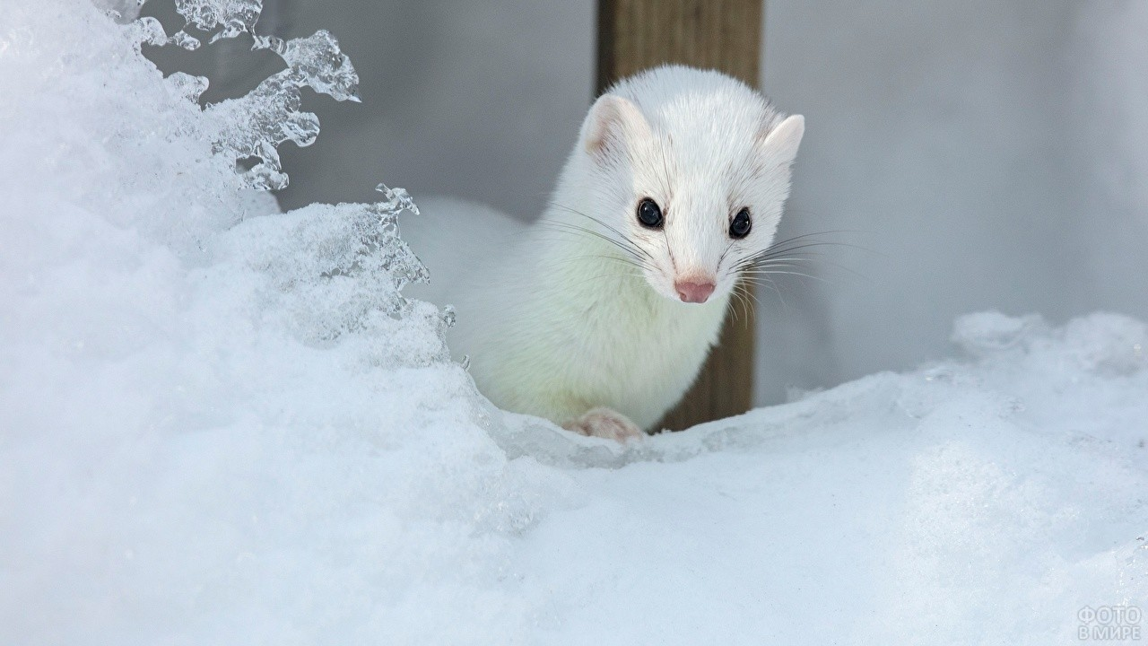 Белый зверёк выглядывает из-за снега