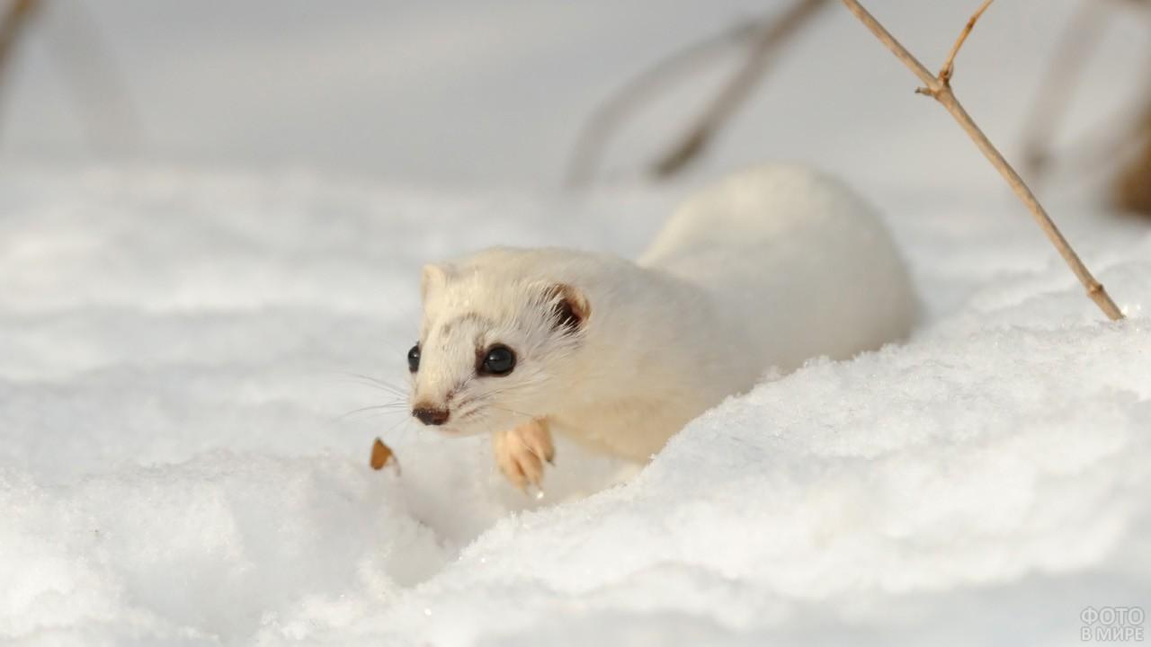 Ласка идёт по снегу