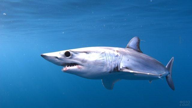 Акула-мако - самая быстрая из акул
