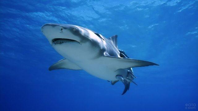 Акула в синей бездне океана