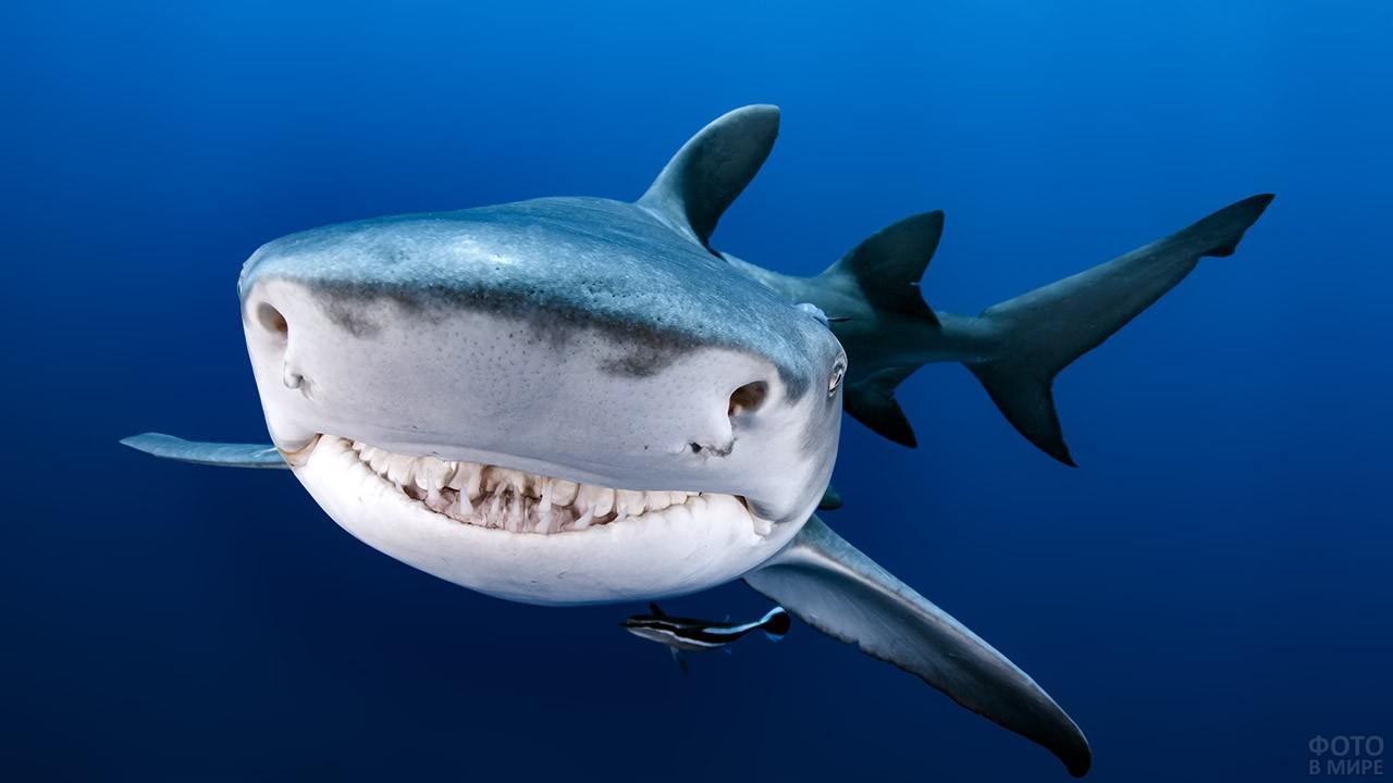Акулья улыбка хищника
