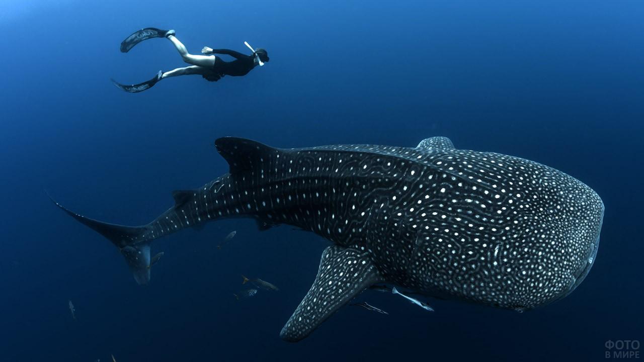 Аквалангистка рядом с китовой акулой