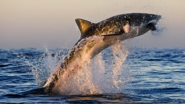 Белая акулы в прыжке над водой