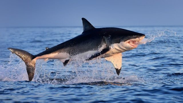 Большая белая акула в прыжке над водой