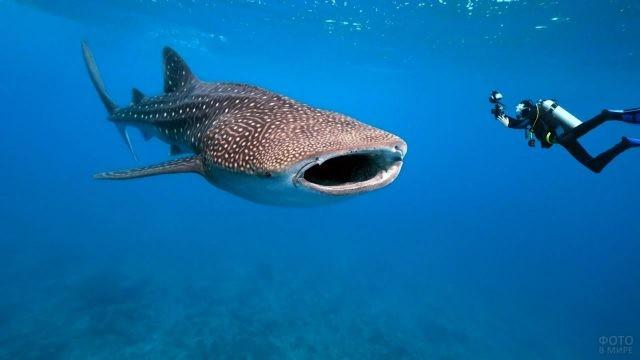 Дайвер фотографирует китовую акулу