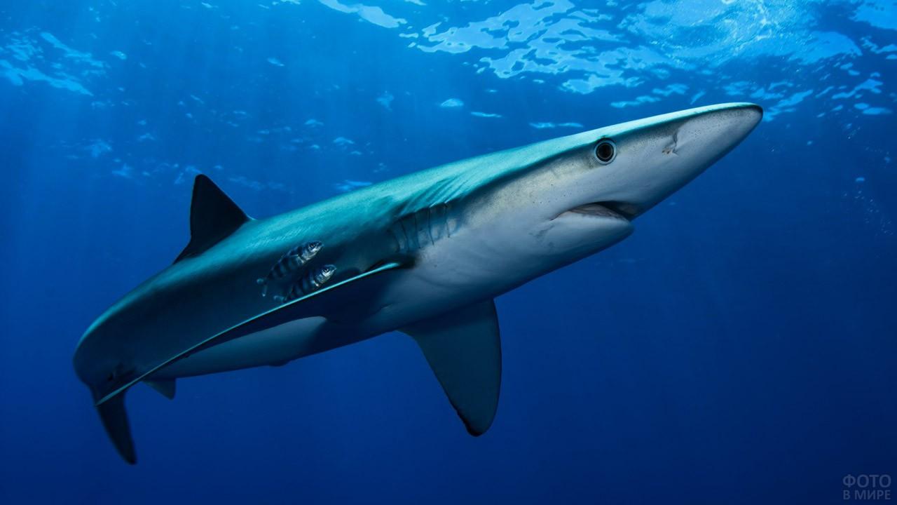 Голубая акула в субтропическом море