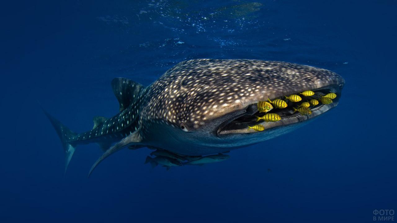 Китовая акула охотится за стаей рыбок