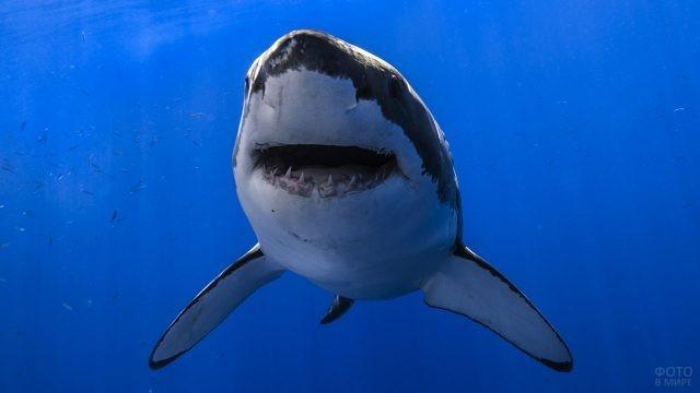 Морда белой акулы