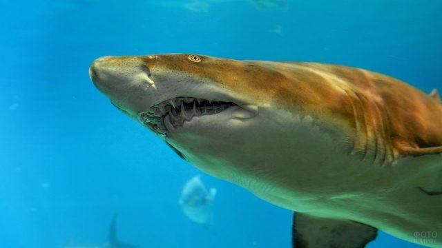 Морда песчаной акулы