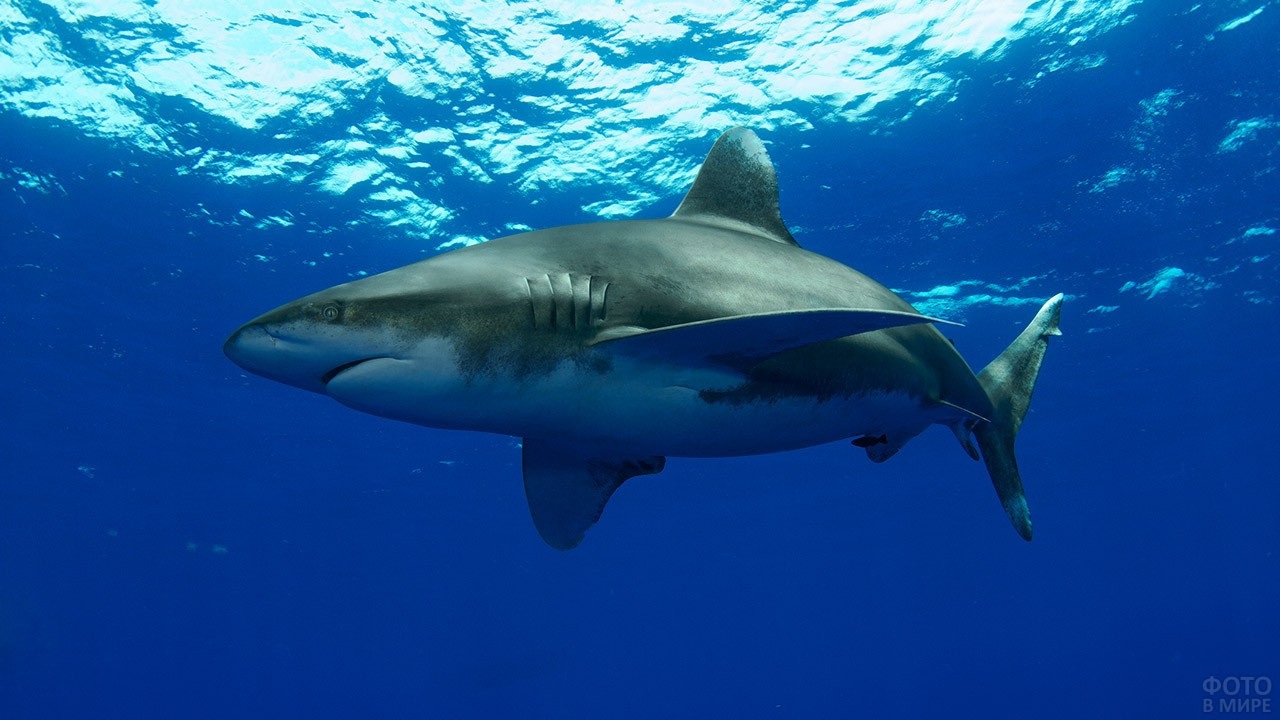 Огромная акула у поверхности воды