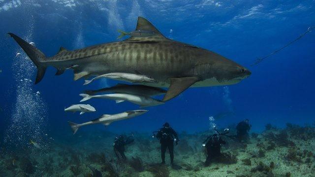 Охота на тигровую акулу