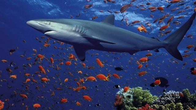 Рифовая акула в стае рыбок