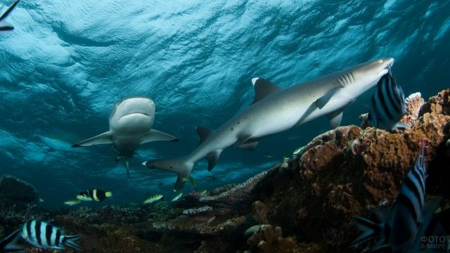 Рифовые акулы в естественной среде обитания