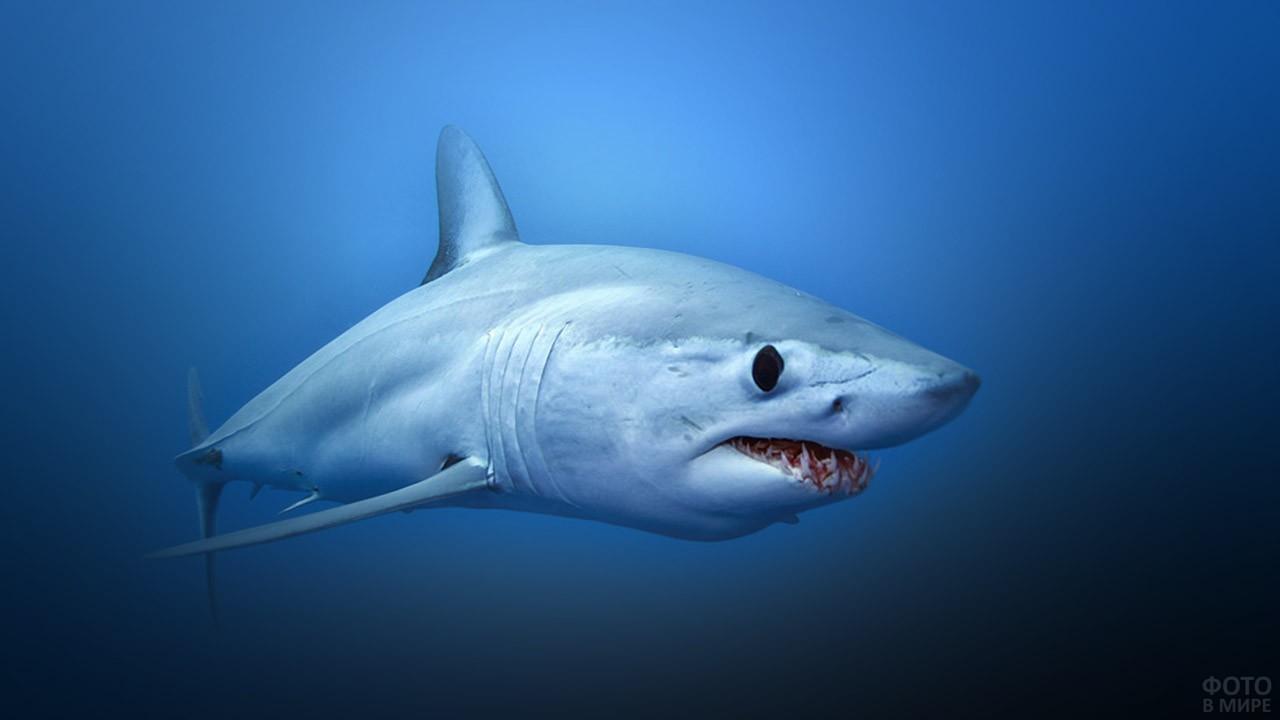 Серо-голубая сельдевая акула-мако