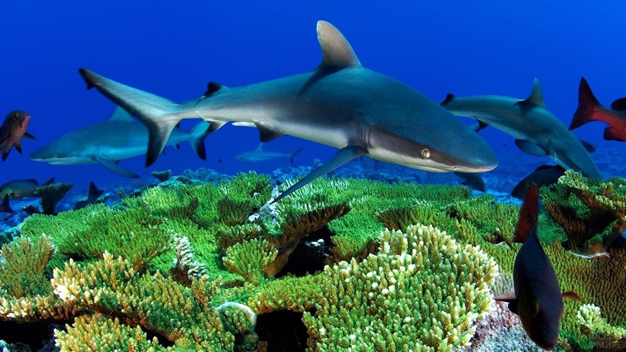 Стая молодых акул охотятся на рифе