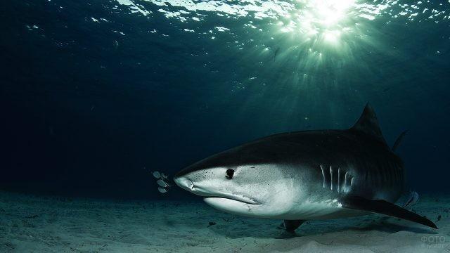 Тигровая акула на глубине Адриатического моря