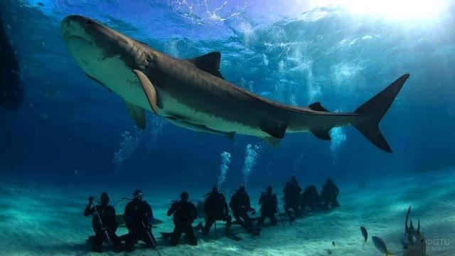 Тигровая акула проплывает над группой аквалангистов