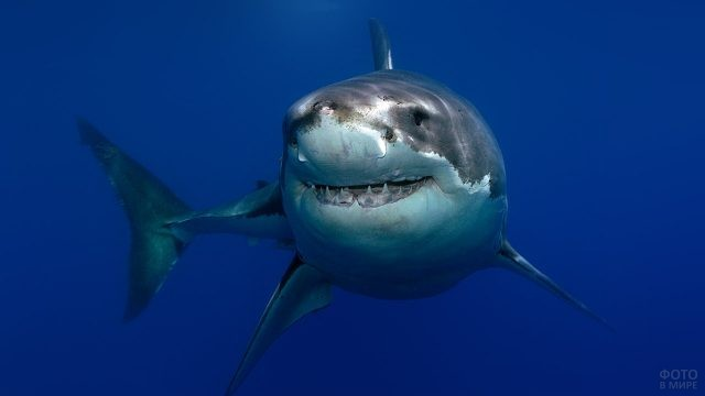 Величественная белая акула