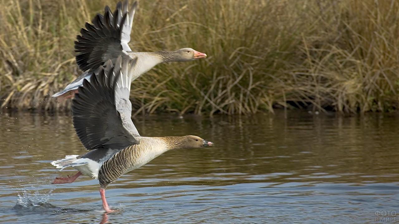 Два гуся собираются взлететь