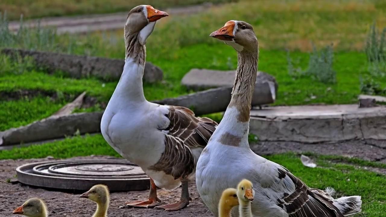 Гуси вывели своих птенцов на прогулку