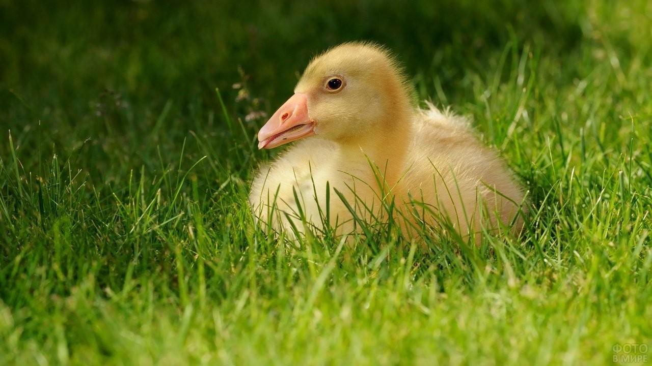 Гусёнок сидит на траве