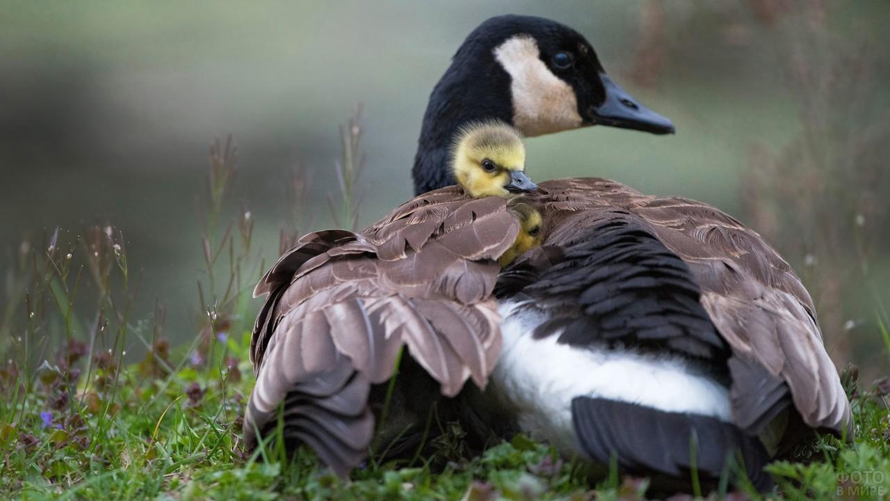 Гусыня укрывает гусёнка крылом