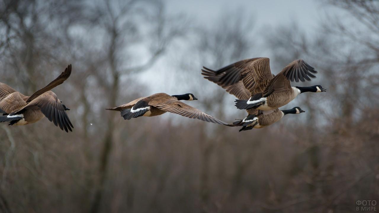 Канадские гуси в полёте