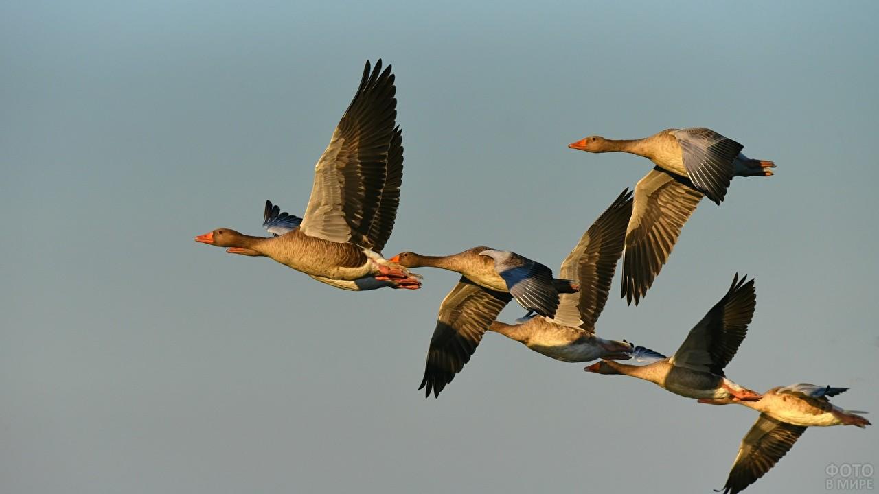 Полёт диких гусей