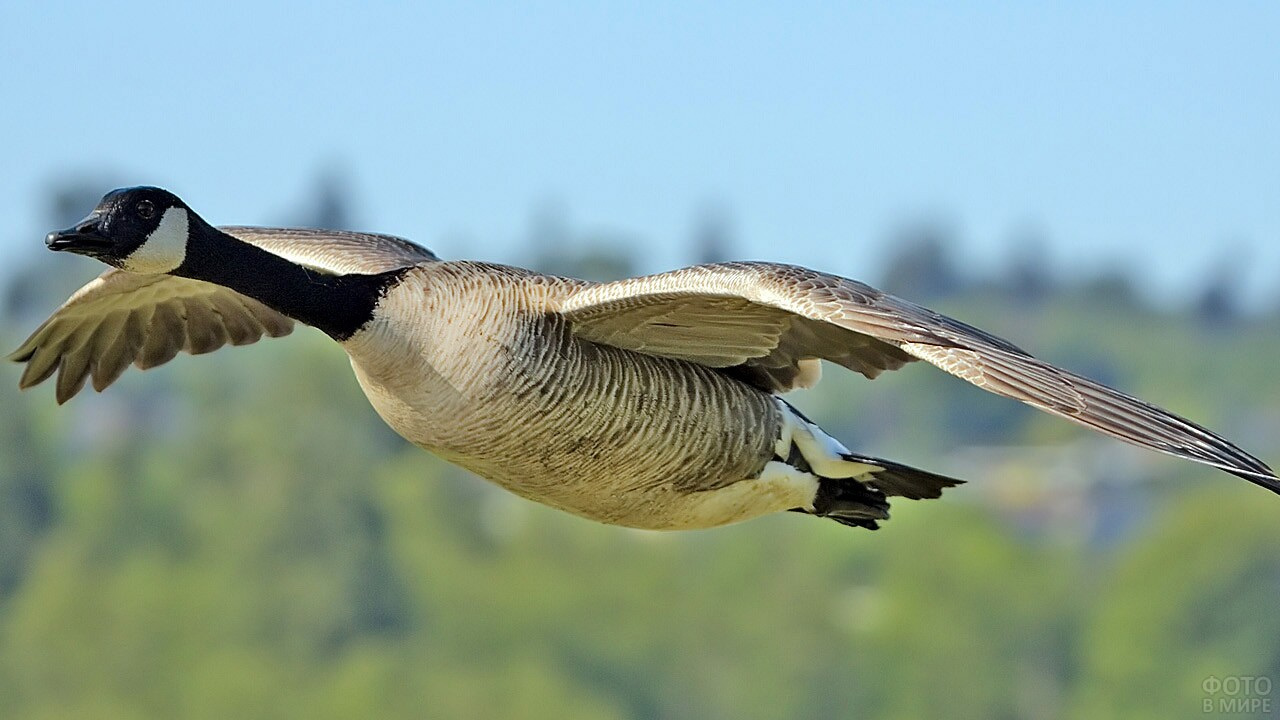 Размах крыльев канадской казарки