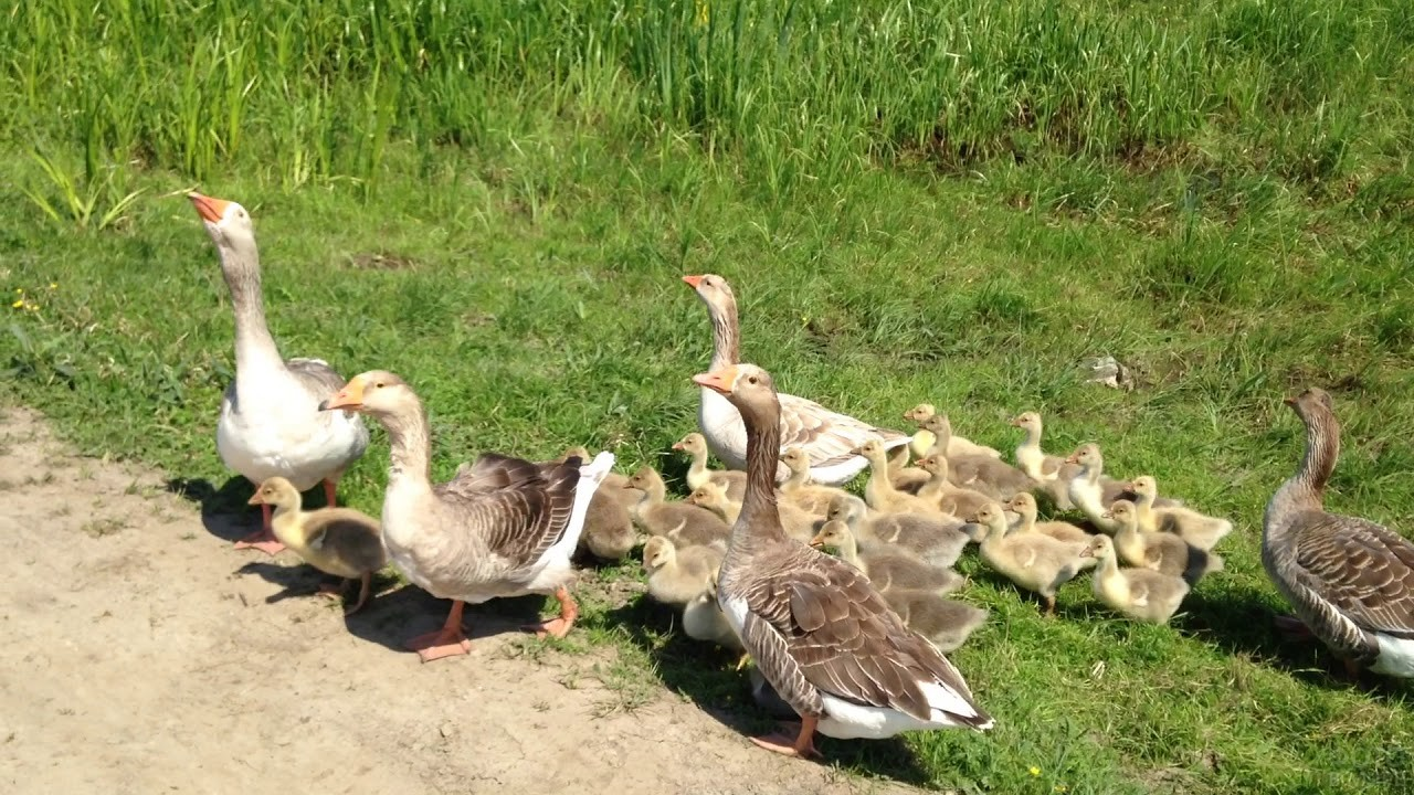 Семейство гусей переходит дорогу