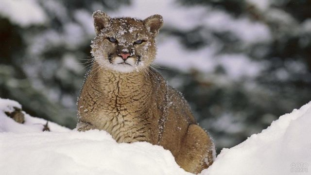 Детёныш пумы со снежинками на шерсти